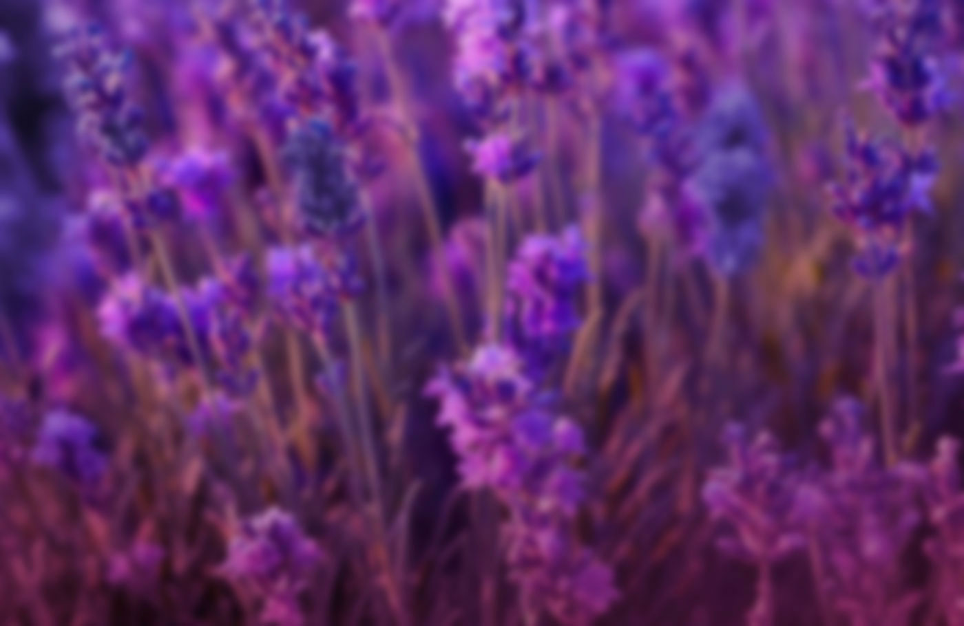 Field of lavender flowers in low light.